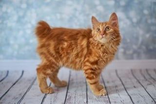 pisică american bobtail