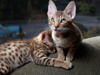 pisică ocicat