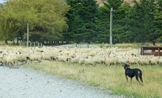 câine ciobănesc turmă