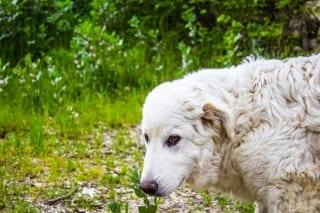 câine ciobănesc maremma