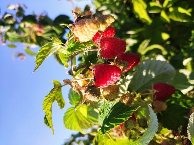 Delicium, brandul de zmeură născut din planul de afaceri al unui copil de 12 ani. Cum arată cea mai cool plantație de fructe de pădure din Transilvania și cum se poate reinventa un business în vremuri de pandemie?